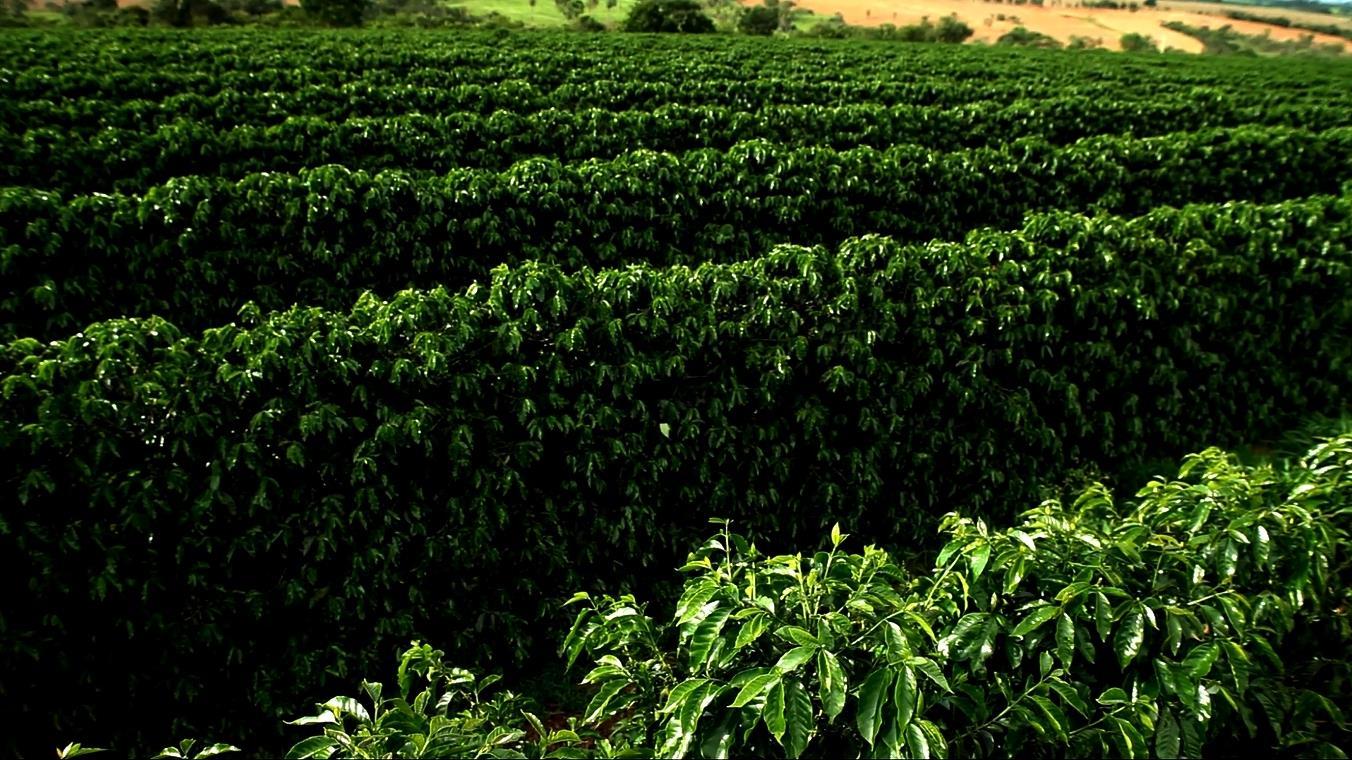 Cafezal do Cerrado Mineiro
