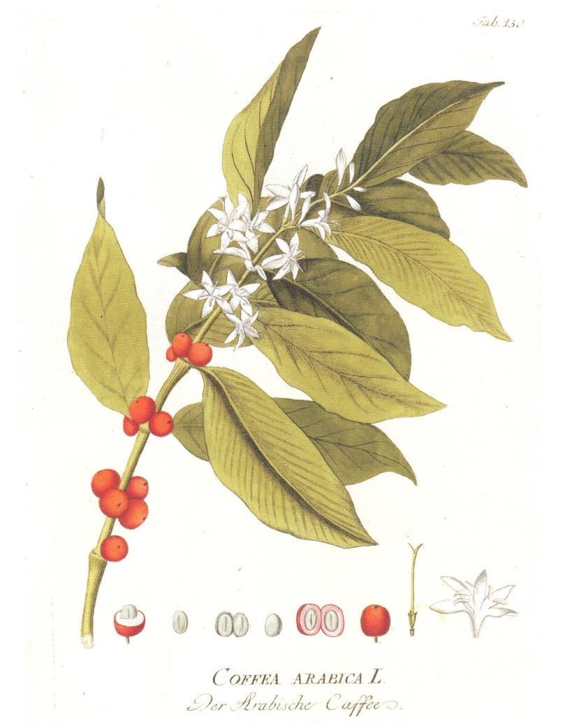 Coffea arabica - de Ritter von Plenck, J.J. (1798)